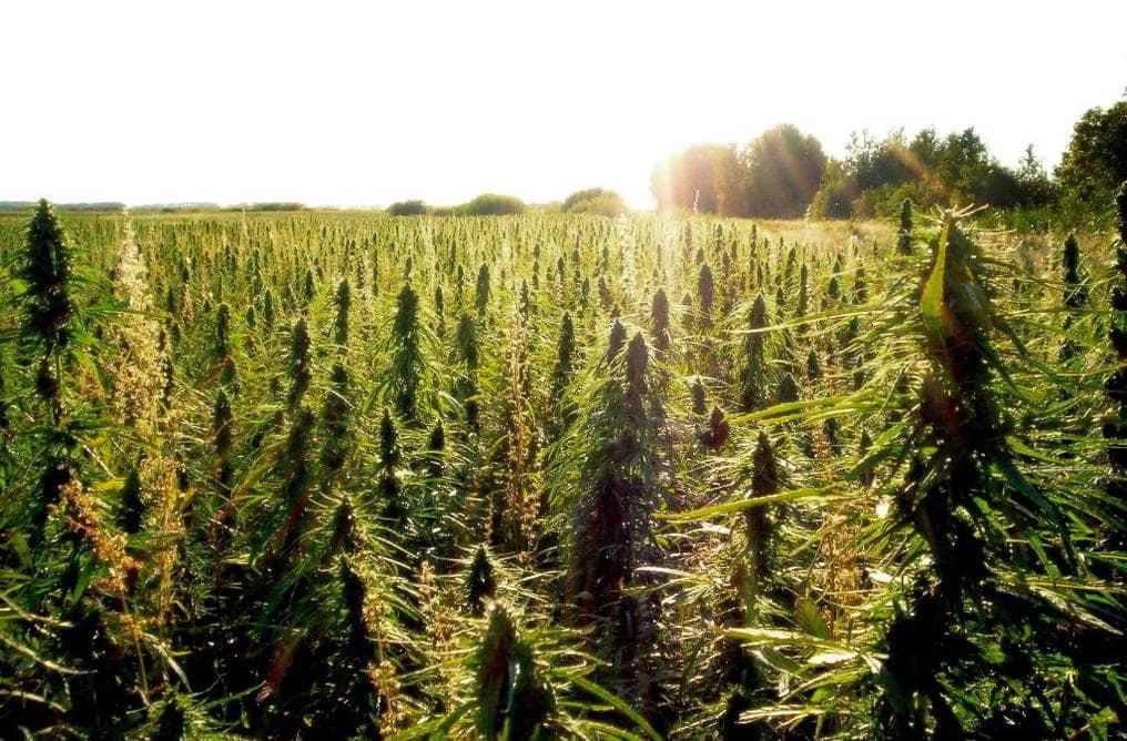 canamo cultivo