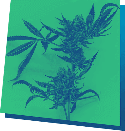 clubes sociales de cannabis